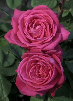 "Rose "" Lolita Lempicka ® "" , (Meizincarosar) , Discovered by Alain Meilland (France) , Hybrid Tea, Cl."