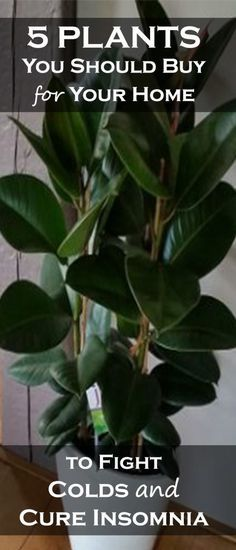 5 Plants You Should Buy for Your Home to Fight Colds and Help Cure Insomnia - Weight Pub