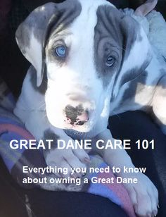 4137c89e6 Is a Great Dane right for your family? Do your research when adding a dog