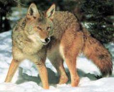 State Symbol: South Dakota State Animal: Coyote