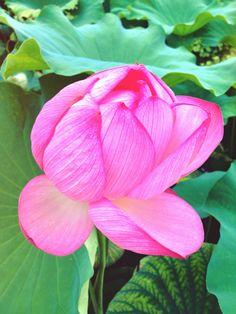 お墓参りの帰りに観た蓮の花。 The flower of the lotus seen on the way from the visit to a grave.