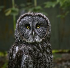 Great Grey Owl By smbrooks_2000
