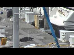 Security camera captures seal giving birth on dock (Seal Birth at Elliott Bay Marina- Seattle, WA 7/29/13)