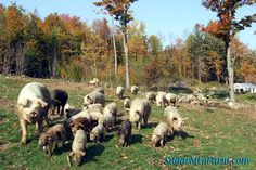 Pigs | Sugar Mountain Farm - excellent resource for learning about raising pigs!