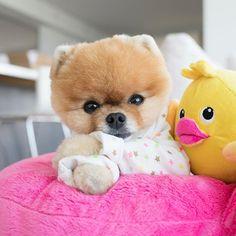 Dog Breeds Little .Dog Breeds Little Cute Baby Puppies, Super Cute Puppies, Baby Animals Super Cute, Teacup Puppies, Cute Funny Animals, Dog Breeds Little, Boo Dog, Cute Animal Photos, Kawaii