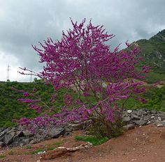 Judas Tree - Pamir, Tajikistan