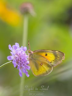Original nature photography and yellow butterfly wall art featuring an Orange Sulphur (Colias eurytheme) on pincushion flowers (Scabiosa). This fine art print is available in multiple sizes. Photo tit