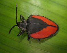 Pseudocalaspidea: Very little is known about this spectacular leaf beetle from ACA Villa Carmen Biological station. Photo by Caroline Chaboo. Leaf Beetle, Beetles, Mammals, Bugs, Insects, Contrast, Villa, Group, Beetle