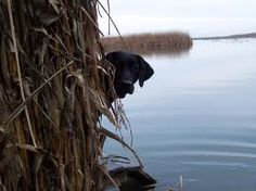 labradors hunting - Google Search