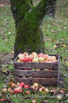 Att vinterförvara äpplen