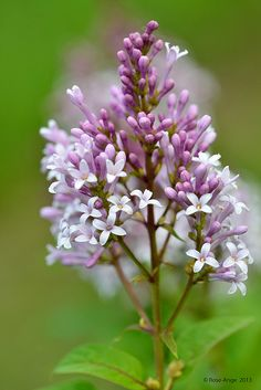 Idaho Syringa.  This the state flower of Idaho.