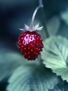 Woodland (wild) Strawberry.  (Bet it tastes heavenly).  Cultivated widely in Europe until it was usurped by the big, bruisers (with half the taste) we see now. Def. one to look out for.  Photo by this, Lily A. Seidel : http://lilyas.deviantart.com/art/Taste-of-Summer-110242068