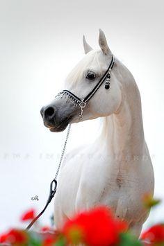 HORSES: Arabian Horse Arabian Horse Show - Western Competition Egyptian Stallion Breeding