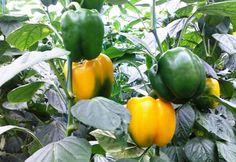 Někdy stačí tak málo, aby se našim plodinám dařilo.Dobrá rada může pro zahrádkáře znamenat opravdu Bell Pepper Plant, Pepper Plants, Container Vegetables, Planting Vegetables, Growing Bell Peppers, Types Of Plants, Plant Care, Potted Plants, Berries
