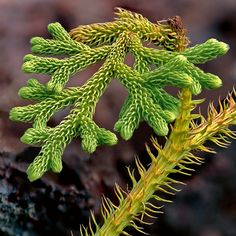 The tips of a Lycopodium clubmoss. These primitive plants, similar to ferns, are very common in tropical forests. Philippe Martin