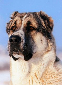 central asian shepherd dog!