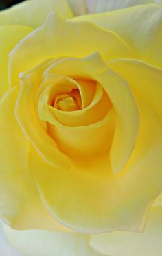 Rose - Yellow Sunny Rose   by Dina Adornetto