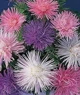 Imagini pentru cherry sparkler fountain grass