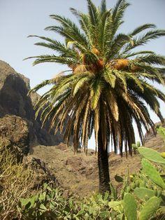 Palmera Canaria  senderismoparati.blogspot.com