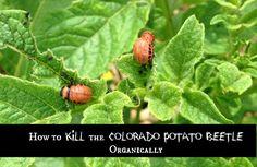 How to kill the Colorado potato beetle organically with nematodes