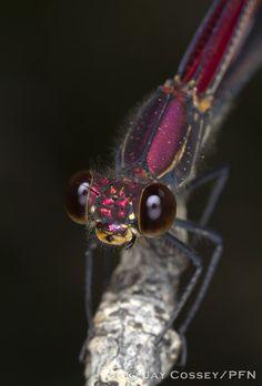 American Rubyspot dragonfly