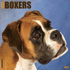 Just Boxers Wall Calendar: Boxers are strong and powerful yet loving, loyal dogs who wish nothing more than to be close to family. This wall calendar dazzles the eye with twelve brilliant full-color Boxer photographs.  http://www.calendars.com/2013-Dogs/Just-Boxers-2013-Wall-Calendar/prod201300006062/?categoryId=cat1260070=cat1260070#