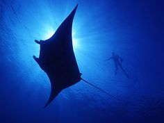 Are you mad about mantas? Then you need to brush up on your manta ray facts! A manta ray sighting is one of the most breathtaking experiences a diver can Underwater Wallpaper, Underwater Pictures, Fish Wallpaper, Underwater Fish, Under The Water, Great Barrier Reef Tauchen, Stingray Fish, Minke Whale, Stradbroke Island