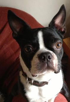 Most Dashing Dog entrant: Harry, 1 year old Boston Terrier, lives with Rachael in London.