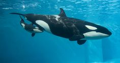 A Word About Separating Orcas From Their Calves