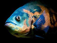 Blue tiger oscar fish / astronotus ocellatus / cichlid family