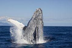 David Fleetham's underwater photographs. A breaching Humpback Whale, Hawaii
