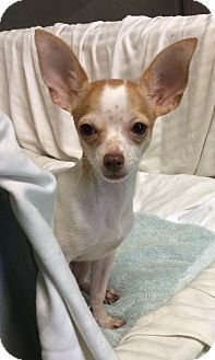 Baby Boy is a Chihuahua for adoption at Humane Society of New York.