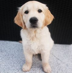 Some of the things we admire about the Trustworthy Golden Retriever Pup Cute Puppies, Cute Dogs, Dogs And Puppies, Doggies, Golden Puppy, Retriever Puppy, Dog Owners, Dog Life, Fur Babies
