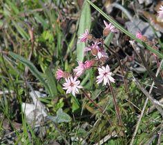 Prairie Star Lithophragma parviflora (Saxifragaceae) Tom McCall Nature Preserve Rowena, Oregon