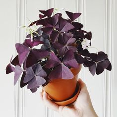 Oxalis Triangularis #houseplants