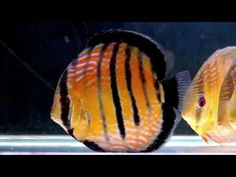 Acclimating wild discus in 180 Gallon at wattley discus - YouTube