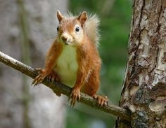 Red Squirrel by eric niven on 500px