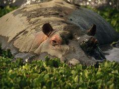 Hippopotamus amphibius - ©Michael Nichols