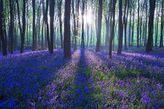 Blue Forest Bells Bell Dawn