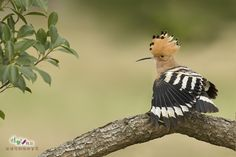 Hoopoe by Sherry Lin on 500px