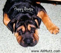 Shar-pei x Rottweiler Bordeaux, Shar Pei Mix, Rotten, Rare Dog Breeds, Rottweiler Mix, Huge Dogs, Dog Mixes, Mixed Breed, Mans Best Friend
