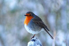 Bluebird with happy red breast