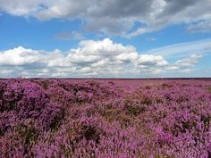 Heather in    Newtondale, North Yorkshire Moors