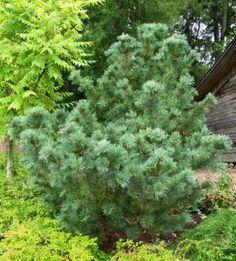 Pinus pumila, pensassembra