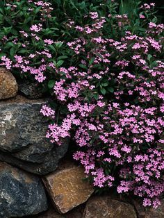 soapwort-- heat and humidity tolerant. saponaria ocymoides- should be deer resistant too. Growing Conditions: Full sun and well-drained soil  Size: 4 inches tall  Zones: 3-9