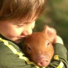 via @dingleydellpork: #pig #piggy #pigs  #outdoorrearedpigs #pork #duroc #landrace #bbq #kitchen #cook #porcine #freedomfoods #dingleydell #dingleydellpork #finedining #farm #farming #suffolk #farmtofork #chefslife #chefsofinstagram #truecooks #foodstars #foodporn #foodart #buybritish #deli #delicatessen #luxury
