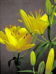 Digitally altered to yellow these are actually pale pink asiatic lilies on the plant photographed in the Summer sun. Amazing Flowers, Love Flowers, Yellow Flowers, Lilies Of The Field, Asiatic Lilies, Shades Of Yellow, Orange Yellow, Color Quotes, Flower Quotes