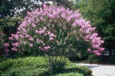 Crape Myrtle (Lagerstroemia indica) and other fast growing trees - HGTV Garden Shrubs, Garden Trees, Landscaping Plants, Shade Garden, Garden Plants, Landscaping Ideas, Southern Landscaping, Potted Plants, Small Trees For Garden