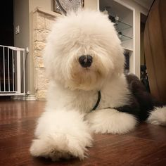 Fluffy Dog Breeds, Big Fluffy Dogs, Pet Dogs, Dog Cat, Sheep Dogs, Old English Sheepdog Puppy, Sheepadoodle Puppy, Westie Puppies, Bears
