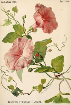 Pink Morning Glories botanical print